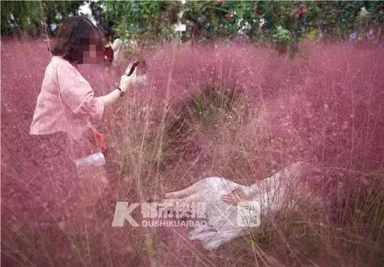 种3年的网红花海3天被毁 养护阿姨气病倒