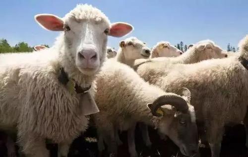 罗伯特·穆齐尔:换一种眼光看羊